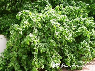 Lazdynas paprastasis ,Contorta' (lot. Corylus avellana)
