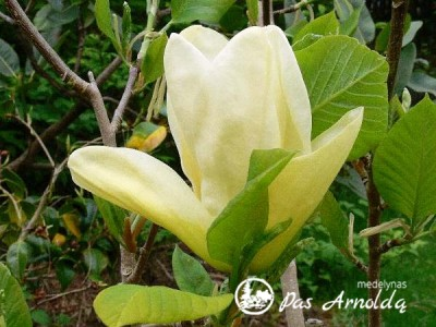 Magnolija puošnioji YELLOW RIVER ,Fei Huang' (lot. Magnolia denudata)