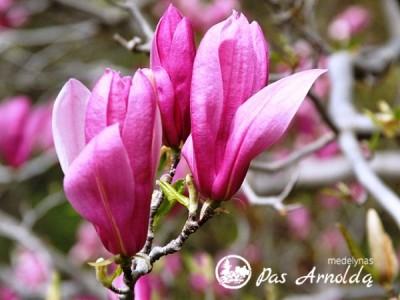 Magnolija ,Ricki' (lot. Magnolia)
