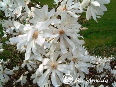 Magnolija žvaigždinė ,Royal Star' (lot. Magnolia stellata)