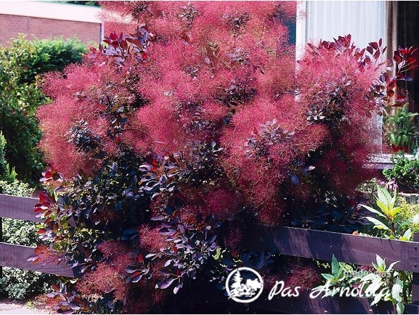 Pukenis europinis ,Royal Purple' (lot. Cotinus coggygria)