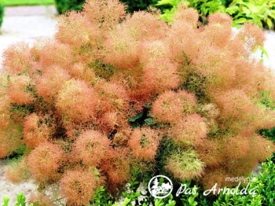 Pukenis europinis ,Young Lady' (lot. Cotinus coggygria)