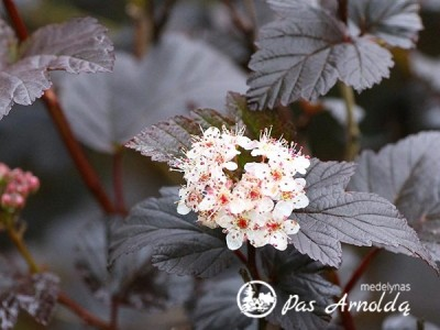 Pūslenis putinalapis ,Diabolo' (lot. Physocarpus opulifolius)