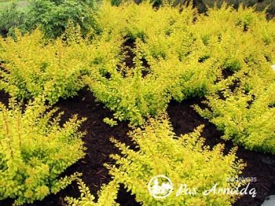 Raugerškis tunbergo ,Golden Carpet' (lot. Berberis thunbergii) -c2