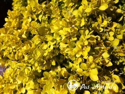 Raugerškis tunbergo ,Tiny Gold' (lot. Berberis thunbergii)