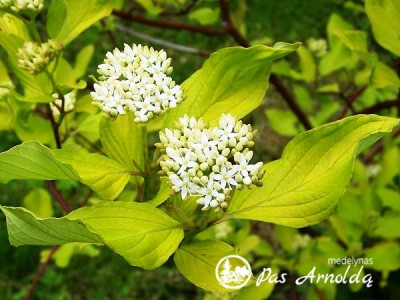 Sedula baltoji ,Aurea' (lot. Cornus alba)