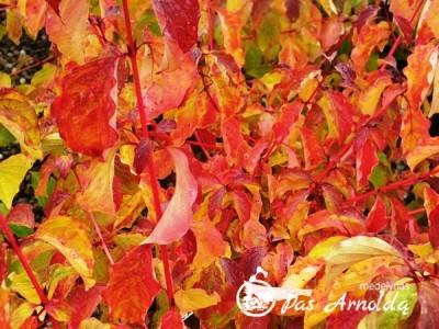 Sedula raudonoji ,Midwinter Fire' (lot. Cornus sanguinea)