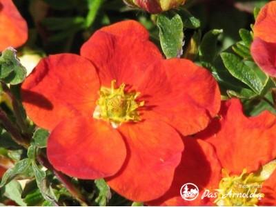 Sidabražolė krūminė 'Red Ace' (lot. Potentilla fruticosa)