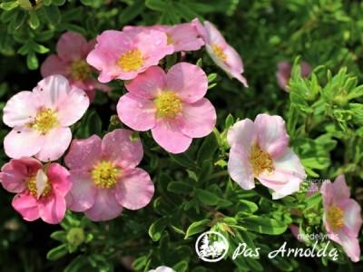 Sidabražolė krūminė LOVELY PINK 'Pink Beauty' (lot. Potentilla fruticosa)