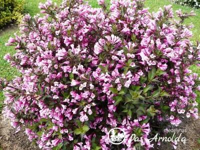 Veigelė gražiažiedė ,Nana Purpurea' (lot. Weigela florida) -c2
