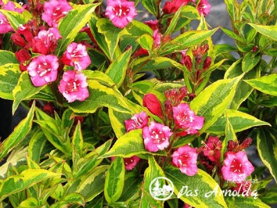 Veigelė gražiažiedė ,Brigela' French Lace (lot. Weigela florida) -c3