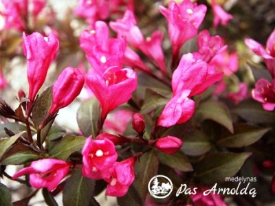 Veigelė gražiažiedė Minor Black ,Verweig 3' (lot. Weigela florida) -c3