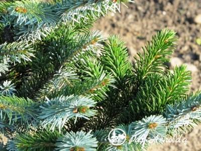 Eglė dvispalvė (lot. Picea bicolor)