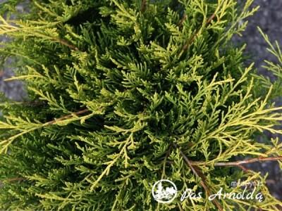 Kadagys tarpinis ,Old Gold' (lot. Juniperus x pfitzeriana)