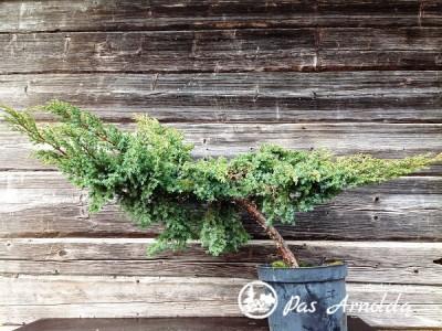 Kadagys žvynuotasis ,Blue Swede' (lot. Juniperus squamata) -c10