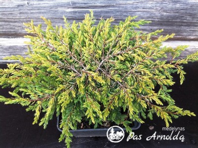 Kadagys paprastasis 'Goldschatz' (lot. Juniperus communis)