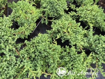 Kadagys gulsčiasis ,Nana' (lot. Juniperus procumbens)
