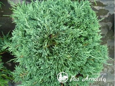 Kadagys padrikasis ,Icee Blue' (lot. Juniperus horizontalis)