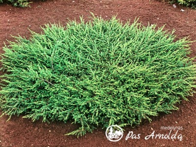 Kadagys paprastasis ,Repanda' (lot. Juniperus communis)