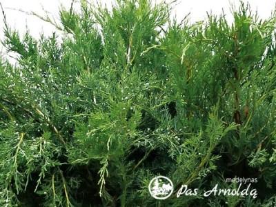 Kadagys tarpinis ,Pfitzeriana Glauca' (lot. Juniperus x pfitzeriana)