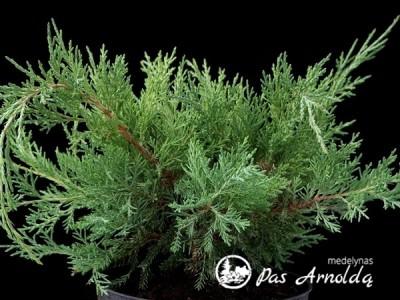 Kadagys virgininis ,Hetz' (lot. Juniperus virginiana)