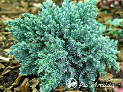 Kadagys žvynuotasis ,Blue Star' (lot. Juniperus squamata)