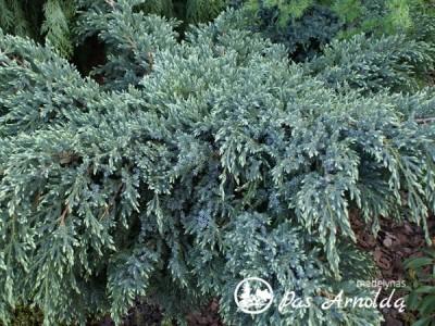 Kadagys žvynuotasis ,Holger' (lot. Juniperus squamata)