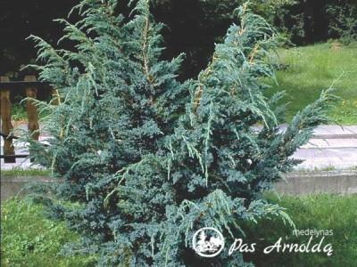 Kadagys žvynuotasis ,Meyeri' (lot. Juniperus squamata)