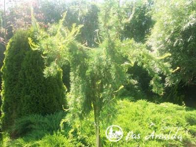 Maumedis europinis ,Horstman Recurved' (lot. Larix decidua)