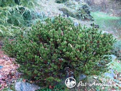 Pušis suktaspyglė ,Spaan's Dwarf' (lot. Pinus contorta)