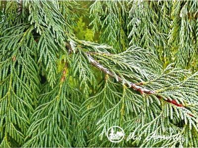 Puskiparisis nutkinis ,Pendula' (lot. Chamaecyparis nootkatensis)
