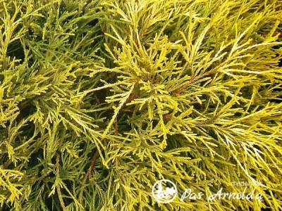 Puskiparisis žirniavaisis ,Filifera Aurea' (lot. Chamaecyparis pisifera)